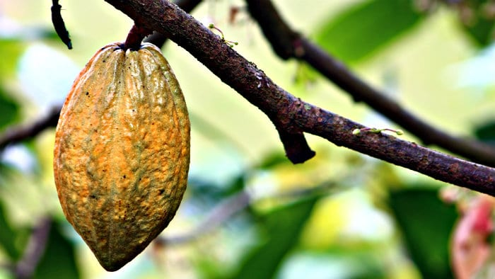 Chocolate is made from cacao beans.
