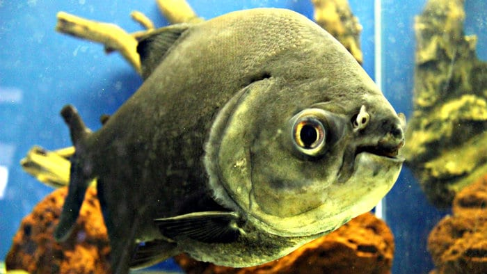 Piranha - carnivorous fish of South American rivers and lakes.