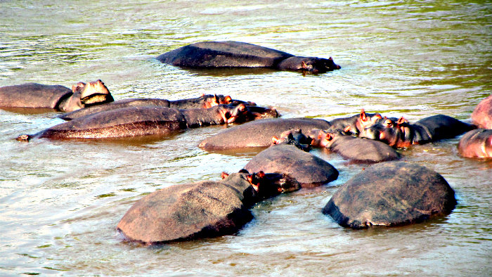 Hippos are thriving in Hluhluwe Game reserve.