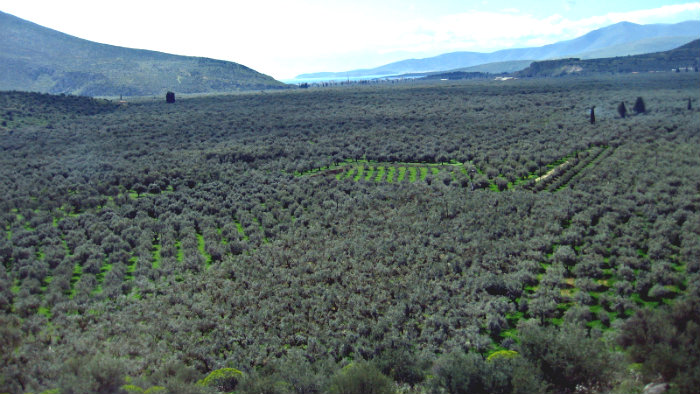 Green carpet woven from olive trees.