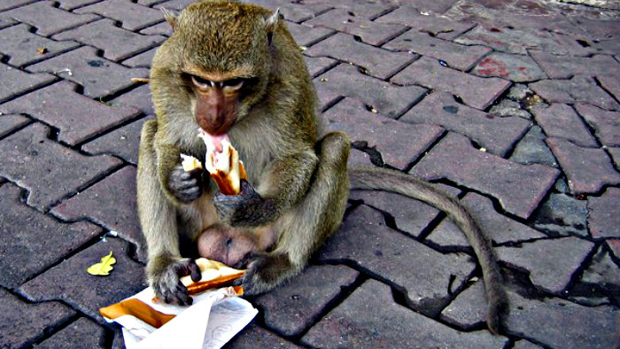 Monkeys can steal your food if you are not careful.
