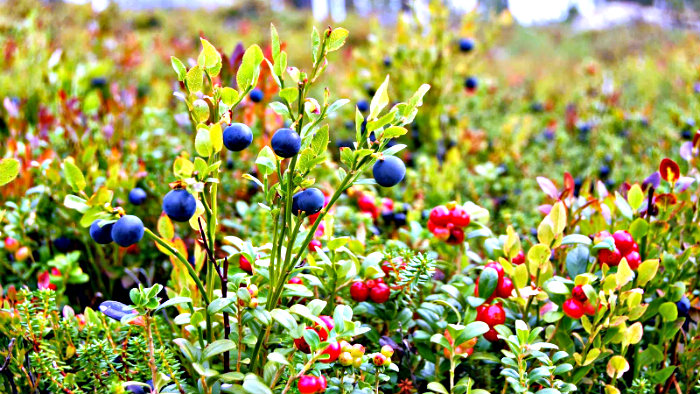 August is the best month to pick wild berries and mushrooms in Norway.